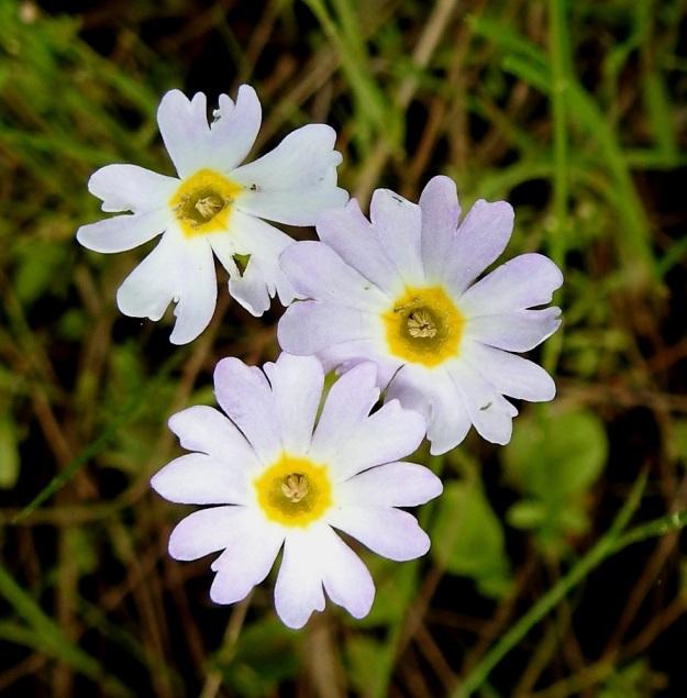 Primula nutans subsp. finmarchica var. jokelae - nuokkuesikon subsp. ruijannuokkuesikon var. perämerennuokkuesikon teriö on varsin uskollisesti viisiliuskainen. Poikkeavuuttakin kuitenkin esiintyy. Kuvan yksilössä yksi teriö on 5-, yksi 6- ja yksi jopa 7-liuskainen. Myös liuskojen lovipäisyydessä esiintyy toisinaan monenlaisia poikkeamia. Lovia voi olla liuskassa kaksi tai loven reunoille on kehittynyt erilaisia hampaita tai muita muutoksia. OP, Oulu, Haukipudas, Martinniemi, 13.6.2019. Copyright Hannu Kämäräinen.