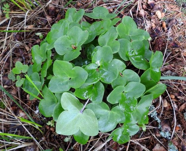 Hepatica nobilis - lehtosinivuokon uudet lehdet kasvavat kukinnan loppuvaiheessa tai sen jälkeen. Ne ovat kiiltävät ja hieman nahkeat, kolmiliuskaiset ja herttatyviset, ikääntyessään päältä tummahkonvihreät ja alta vaaleanvihreät tai toisinaan sinipunertavat. Lehtiliuskat ovat yleensä ehyitä ja pyöreämuotoisia, mutta joskus voi olla muunteluakin, kuten kuvan vasemman yläkulman (roska keskellä) lehdessä. EH, Hämeenlinna, Loimalahti, Hirsimäki, 2.6.2019. Copyright Hannu Kämäräinen.