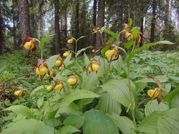 Cypripedium calceolus - lehtotikankontin kukkivien varsien pituus voi vaihdella samassakin kasvustossa ollen yleensä 20-50 cm. Lehtihankaisia kukkia on yleensä yksi tai kaksi, harvoin kolme. U, Hyvinkää, 8.6.2013. Copyright Hannu Kämäräinen.