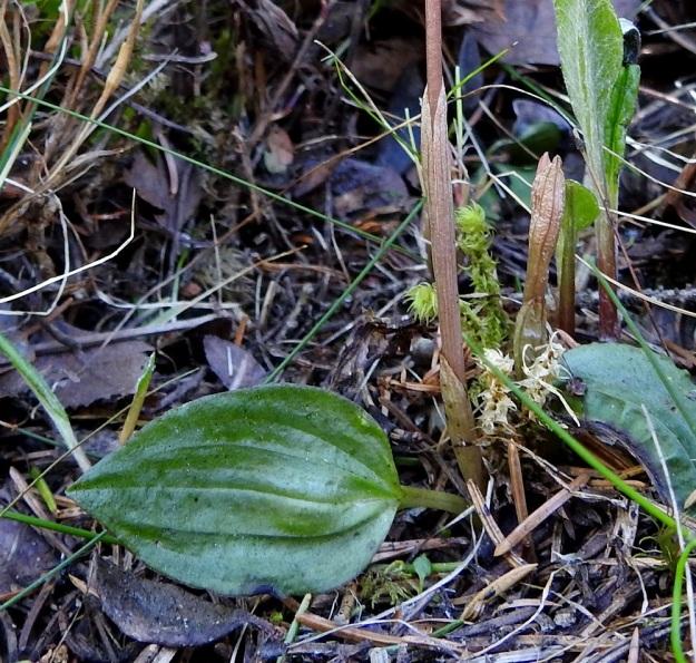 Calypso bulbosa - neidonkengän kukkavarren alaosassa on 2-3 tuppimaista lehteä. Tyvellä on yksi tummanvihreä, ruodillinen ja lavaltaan noin 3-4 cm pitkä, leveänsoikea lehti. Kukintavaiheessa näkyvät lehdet ovat talvehtineita ja ne kuihtuvat heinäkuussa. Syksyllä kasvaa uusi talvehtiva lehti, jonka tyveen kehittyy myös talvehtiva, seuraavan kesän kukkasilmu. Ks, Kuusamo, 14.6.2019. Copyright Hannu Kämäräinen.