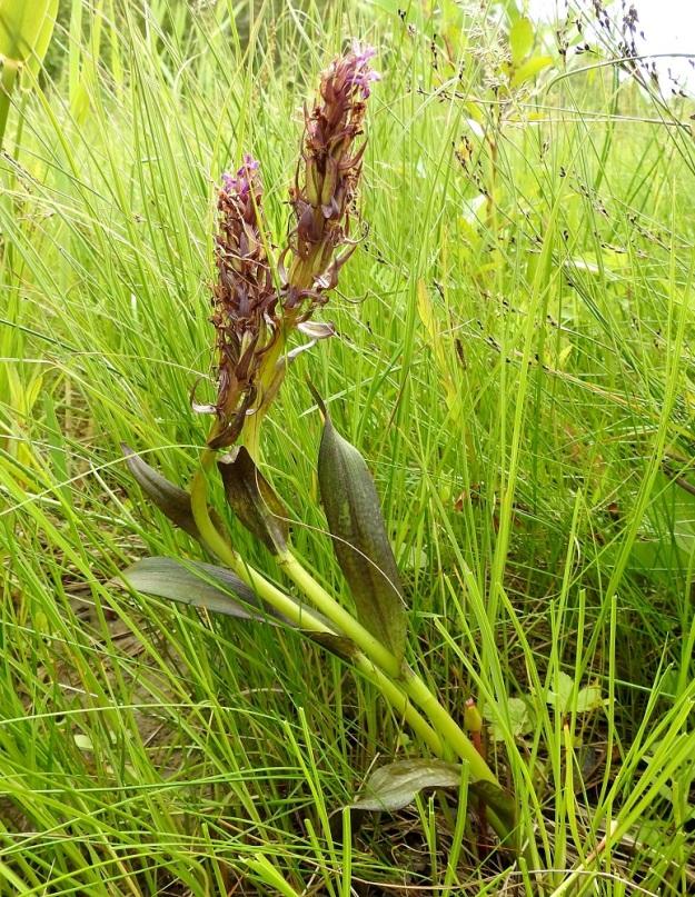 Dactylorhiza incarnata subsp. cruenta - punakämmekän subsp. veripunakämmekän lehdet ovat erityisesti pohjoisempana usein kokonaan tai lähes kokonaan punertavan ruskeita. OP, Oulu, Haukipudas, Martinniemi, Kilpukkaperä, Villenniemen pohjoispuolinen merenrantaniitty, 9.7.2019. Copyright Hannu Kämäräinen.