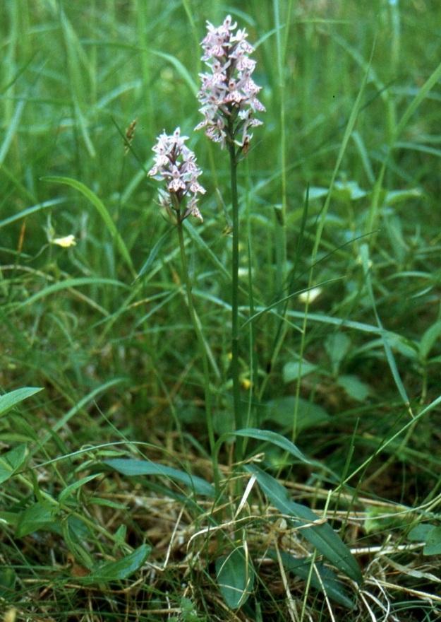 Dactylorhiza maculata subsp. maculata - täpläkämmekkä subsp. maariankämmekkä voi olla lehdiltään myös täysin pilkuton. Tällaiselle muodolle, jolla kukat kuitenkin ovat värilliset, annettiin aikanaan muotonimeksi f. concolor. Kn, Hyrynsalmi, Lietekylä, Lumivaara, Pilkanmäen autiotila, 11.7.1999. Skannattu diasta. Copyright Hannu Kämäräinen.