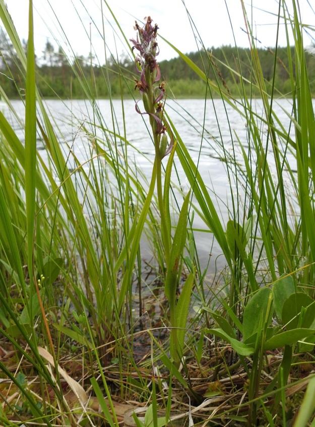 Dactylorhiza incarnata subsp. incarnata - punakämmekkä subsp. suopunakämmekkä näyttää pärjäävän lähes vesikasvinakin. 12.7.2019 PS, Joroinen, Ryyhtölä, Saarikko-lampi, luonnonsujelualue, 12.7.2019. Copyright Hannu Kämäräinen.