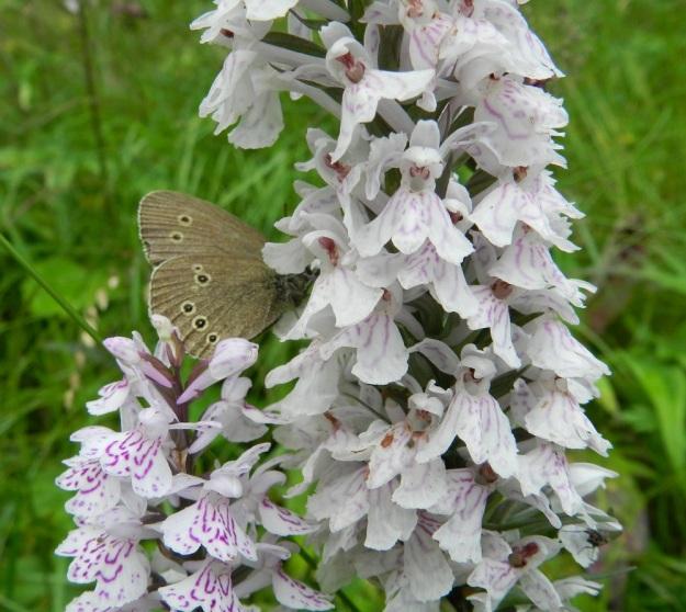 """Dactylorhiza maculata subsp. maculata - täpläkämmekkä subsp. maariankämmekkä huijaa medettömillä kukillaan tavallisesti kimalaisia, hietamehiläisiä, kukkakärpäsiä, tanhukärpäsiä ja sarvijääriä. Toisinaan myös perhoset ovat imukärsällään turhaan """"onkimassa"""" mettä kannuksista. Kuvassa yrittämässä tesmaperhonen, Aphantopus hyperantus. Kehälehtien kuvionnin värin voimakkuus näyttää tässä vaihtelevan samoissakin kukissa ikään kuin ne olisivat haalistuneet. Huulen keskiliuska on leveän voimakas ja aika lailla samanmittainen kuin sivuliuskatkin. EH, Hämeenlinna, Miemala, Helsingintien laitaoja, 17.7.2012. Copyright Hannu Kämäräinen."""