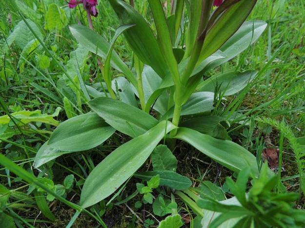 Dactylorhiza sambucina - seljakämmekän varren tyviosassa on muutamia, kapeahkon vastapuikeita lehtiä, joiden tyvi ympäröi vartta ja jatkuu pitkänä tuppena. Lisäksi ylempänä varressa on yksi tai kaksi kapeampaa ylälehteä. Kaikki lehdet ovat tasaisen vihreitä ja täplättömiä. A, Lemland, eteläpää, Herröskatan, luonnonsuojelualue, 26.5.2013. Copyright Hannu Kämäräinen.