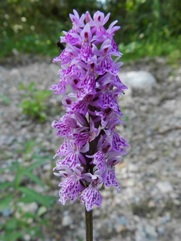 Dactylorhiza maculata subsp. fuchsii - täpläkämmekkä subsp. kielikämmekkä (kalkkimaariankämmekkä) on valinnut poikkeuksellisen karun kasvupaikan, maantienojasta nousevan, avoimen sorarinteen, joka ehkä saa vettä ylempää metsästä. Kukkien pohjaväri on vaalea ja kuvioinnit hyvin voimakkaita. Huulen keskiliuska on vahva ja muita pitempi. Yleispiirteiltään kukkatuntomerkit lähenevät jo maariankämmekkää, D. maculata subsp. maculata. Kn, Suomussalmi, Eskolanvaara, Raatteentien laita, 10.7.2011. Copyright Hannu Kämäräinen.