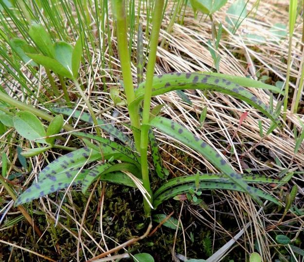 Dactylorhiza majalis ssp. lapponica - toukokämmekkä ssp. lapinkämmekkä (D. traunsteineri -tyyppi, kaitakämmekkä). Lehdet ovat lähes tasasoukkia tai kapeansuikeita ja vain noin 0,5-1 cm leveitä, enimmillään noin 10 kertaa leveyttään pitempiä. Kuvan varsiparin tyvellä on myös nauhamaisia lehtiä, jotka nousevat ilmeisesti suoraan kasvullisista sivumukuloista. Ks, Kuusamo, Juuma, Jyrävänjärven pohjoispään itäpuoli, pieni, avoin lettosuo Oulangan kansallispuiston rajalla, 13.7.2015. Copyright Hannu Kämäräinen.