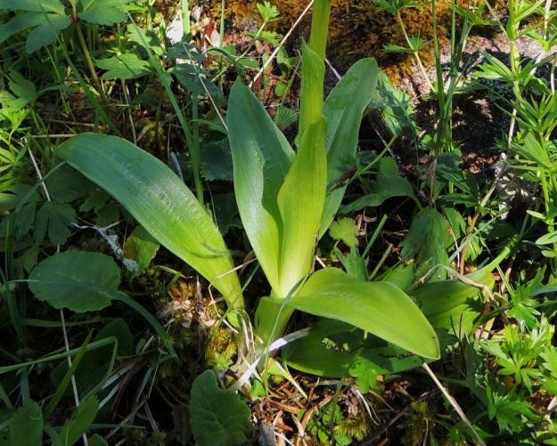Orchis mascula - miehenkämmekän varren alaosassa on lähes ruusukemaisesti 3-5 soikeaa ja noin 8-10 cm pitkää lehteä. Ylempänä varrella (kuvassa heti alaosan lehtien yläpuolella) on 1-2 tuppimaista ja lähes lavatonta lehteä. Tässä kuvasarjassa kaikkien yksilöiden lehdet ovat täplättömiä, mutta lehdet voivat olla yläpinnaltaan myös ruskehtavatäpläisiä. A, Lemland, Nåtö, merenrantaan ulottuva luonnonsuojelualue biologisen aseman itäpuolella, 27.5.2013. Copyright Hannu Kämäräinen.