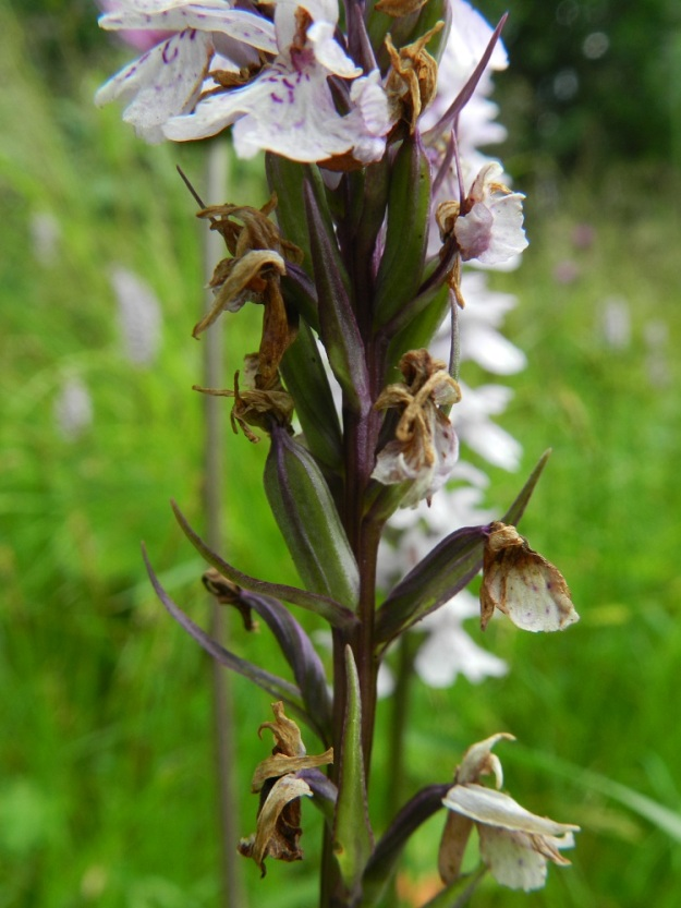 Dactylorhiza maculata subsp. maculata - täpläkämmekän subsp. maariankämmekän tukilehdet ovat kapeita, pitkäsuippuisia, 10-15 mm pitkiä ja kukkiaan lyhyempiä. Kota on pysty, pitkulainen, vahvasuoninen ja noin 15 mm pitkä. EH, Hämeenlinna, Miemala, Helsingintien laitaoja, 17.7.2012. Copyright Hannu Kämäräinen.