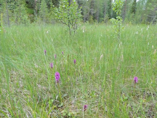 Dactylorhiza majalis ssp. lapponica - toukokämmekkä ssp. lapinkämmekkä (D. lapponica -tyyppi) on selvästi reheväkasvuisempi ja kookkaampi (noin 25 cm) Kuusamon letoilla kuin pohjoisempana Lapissa, jossa se yleensä on pieni ja hentoinen. Ks, Kuusamo, Juuma, Jyrävänjärven pohjoispään itäpuoli, pieni, avoin lettosuo Oulangan kansallispuiston rajalla, 13.7.2015. Copyright Hannu Kämäräinen.