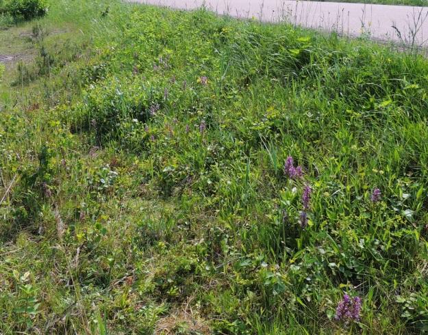Orchis militaris - soikkokämmekkä , tulokaslaji, on valinnut kasvupaikakseen tavallisenoloisen maantienojan ja sen luiskan. Vuonna 2014 tässä kasvustossa oli 155 kukkavartta. Ensimmäinen yksilö löydettiin paikalta 1999. A, Vårdö 10.6.2014. Copyright Hannu Kämäräinen.