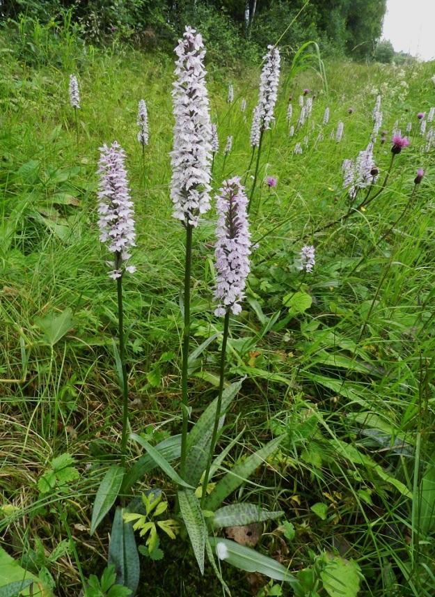 Dactylorhiza maculata subsp. maculata - täpläkämmekkä subsp. maariankämmekkä kasvaa usein rehevänä, kookkaana ja leveälehtisenä ojakasvupaikoillaan. Ylimmät varsilehdet eivät tavallisesti yllä lähellekään kukintotähkää. Näyttäisi myös siltä, että ainakin eteläisessä Suomessa ja erityisesti tienvarsilla kämmekät ovat usein hyvin vaaleakukkaisia. Valaistuksesta riippuen kukintotähkä näyttää valkoiselta tai punertaa vienosti. EH, Hämeenlinna, Miemala, Helsingintien laitaoja, 17.7.2012. Copyright Hannu Kämäräinen.