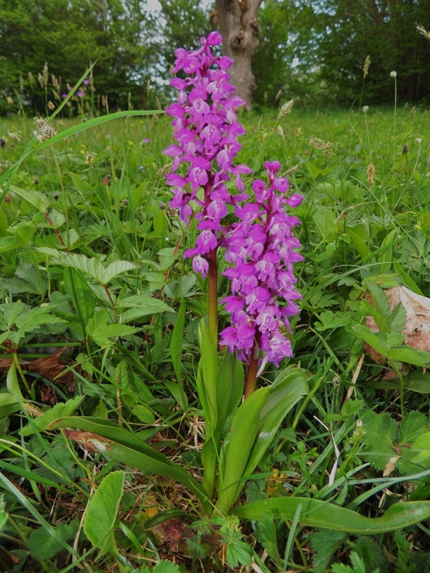 Orchis mascula - miehenkämmekkä on useimmiten purppuranpunakukkainen. Kukintotähkä on tavallisesti harsu tai harsuhko, noin 6-8 cm pitkä ja 15-30-kukkainen. Kaikki em. ominaisuudet kuitenkin vaihtelevat aika suuresti. Lehdet voivat olla vihreät ja täplättömät tai päältä ruskehtavatäpläiset. Ahvenanmaalla lienee vallitsevana lehtien täplättömyys. A, Jomala, Ramsholmen, luonnonsuojelualue, 29.5.2013. Copyright Hannu Kämäräinen.