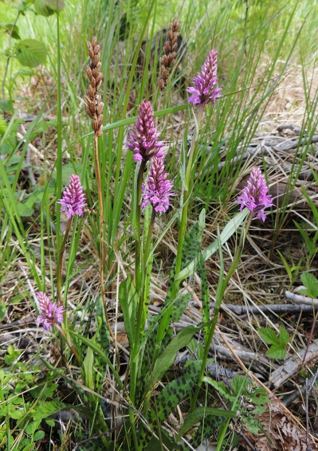 Dactylorhiza maculata subsp. fuchsii - täpläkämmekkä subsp. kielikämmekkä (kalkkimaariankämmekkä) ei tiheävartisista kasvustoista päätellen näyttäisi ainakaan heti kärsivän lehtometsän avohakkuustakaan. A, Lemland, Järsö, eteläosa, Hästskärsvägenin varsi, hakkuuaukean reuna, 13.6.2014. Copyright Hannu Kämäräinen.