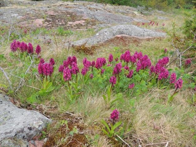 Dactylorhiza sambucina - seljakämmekän punakukkainen värimuoto on lähes yksinomainen Herröskatanin luonnonsuojelualueen laajalla kalliokedolla. Taustan kasvuston vasemmassa laidassa myös vaaleanpunaista välimuotoa. A, Lemland, eteläpää, 26.5.2013. Copyright Hannu Kämäräinen.