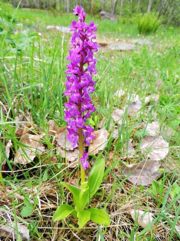 Orchis mascula - miehenkämmekän koko- ja suhdevaihtelusta esimerkkinä yksilö, jossa valtaosa koko kasvista on yli 20 cm pitkää kukintotähkää. A, Lemland, eteläpää, Herröskatan, luonnonsuojelualue, 26.5.2013. Copyright Hannu Kämäräinen.
