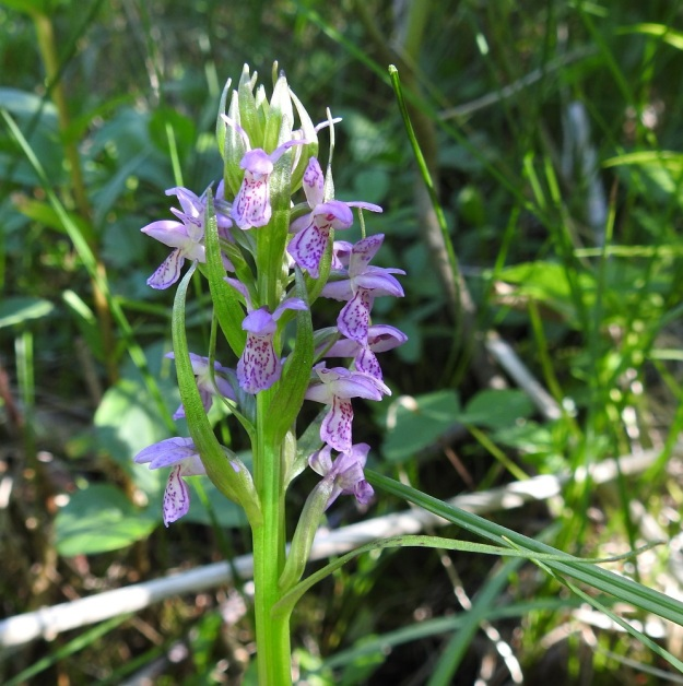 Dactylorhiza incarnata subsp. incarnata - punakämmekän subsp. suopunakämmekän kukintotähkä on ehkä varjoisan kasvupaikan vuoksi jäänyt harvaksi. Myös kukkien tukilehdistä puuttuu punaväri kokonaan. Huuli on ehyt ja hieman mutkalaitainen. Kukan väritys on valjun sinipunainen. Silmiin pistävin piirre on tukilehtien poikkeuksellinen pituus. Alin tukilehti tavoittelee jo varsilehden tiiteliä ja sen yläpinnalla on punaruskeita täpliä. A, Jomala, Västansunda, Vargsundet-lahdesta etelään oleva Moren, umpeenkasvaneeseen merenlahteen muodostunut lettosuo, luonnonsuojelualue, 14.7.2017. Copyright Hannu Kämäräinen.