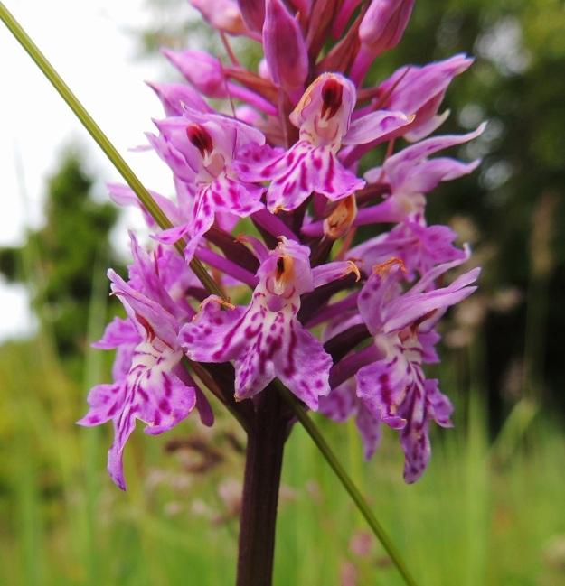 Dactylorhiza maculata subsp. fuchsii - täpläkämmekkä subsp. kielikämmekkä (kalkkimaariankämmekkä) on maariankämmekän tavoin kukiltaan hyvin muunteleva. Samassakin kukintotähkässä huulen liuskojen malli voi vaihdella kukasta kukkaan. Kehälehtien värikirjailu on myös joka kukassa erilainen, kuin sormenjäljet. Siitepölymyhkyt ovat useimmiten hyvin tumman punaruskeat. Keskellä alimmaisessa kukassa on kehittynyt normaalisti vain toinen myhky ja toinen on korvautunut keltaisella, virheellisellä kasvulla. A, Lemland, Järsö, eteläosa, Hästskärsvägenin varsi, hakkuuaukean reuna, 13.6.2014. Copyright Hannu Kämäräinen.