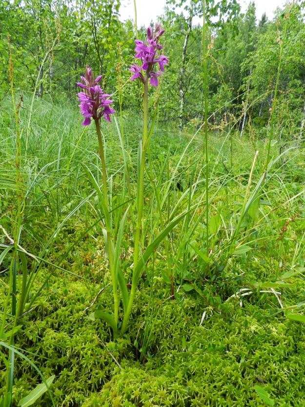 Dactylorhiza incarnata subsp. incarnata - punakämmekkä subsp. suopunakämmekkä on kuvan kasvupaikalla aika hoikkavartista ja suurikukkaista. Taustalla lähteikkösuolaheinää, Rumex acetosa var. fontanopaludosus. EH, Ruovesi, Siikakangas, Röykkeenneva, pieni lähteikkösuo, 1.7.2011. Copyright Hannu Kämäräinen.