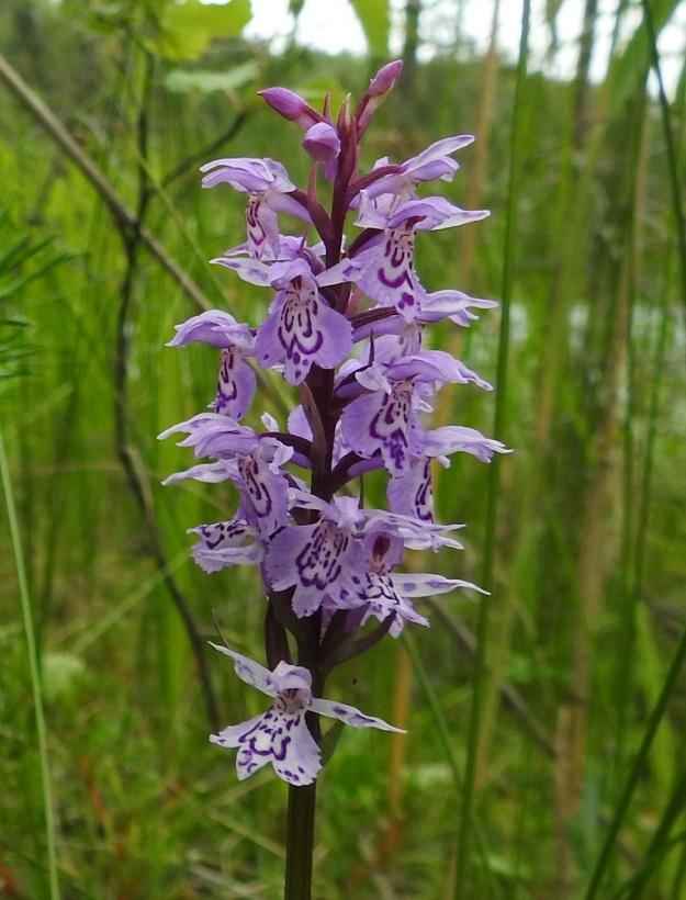 Dactylorhiza maculata subsp. maculata - täpläkämmekän subsp. maariankämmekän yksi perusvärityyppi on vaalea sinipuna. Kuvan kukinnossa huulen keskiliuska ei kirjattuja tuntomerkkejä noudattaen tyydy lyhyemmäksi tai samanpituiseksi kuin sivuliuskat, vaan on kasvanut niitä pitemmäksi kielikämmekän, D. maculata subsp. fuchsii, tapaan. Huulen kirjailun monimuotoisuuteen kannattaa myös kiinnittää huomiota. PS, Joroinen, Ryyhtölä, Saarikko-lampi, luonnonsujelualue, rantasuokaista lähellä vesirajaa, 12.7.2019. Copyright Hannu Kämäräinen.