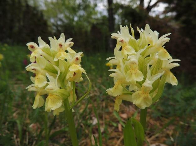 Dactylorhiza sambucina - seljakämmekän keltaisissakin kukissa on värien muuntelua. Kuvan kukinnoissa muut kehälehdet ovat valkoisehkot ja huuli on vaaleankeltainen. Kukkien tukilehdet ovat kookkaita ja leveähkön suikeita. Niiden värisävy noudattelee kehälehtien väritystä vaihdellen keltaisenvihreästä hyvin tummaan punavihreään. A, Lemland, eteläpää, Herröskatan, luonnonsuojelualue, 26.5.2013. Copyright Hannu Kämäräinen.