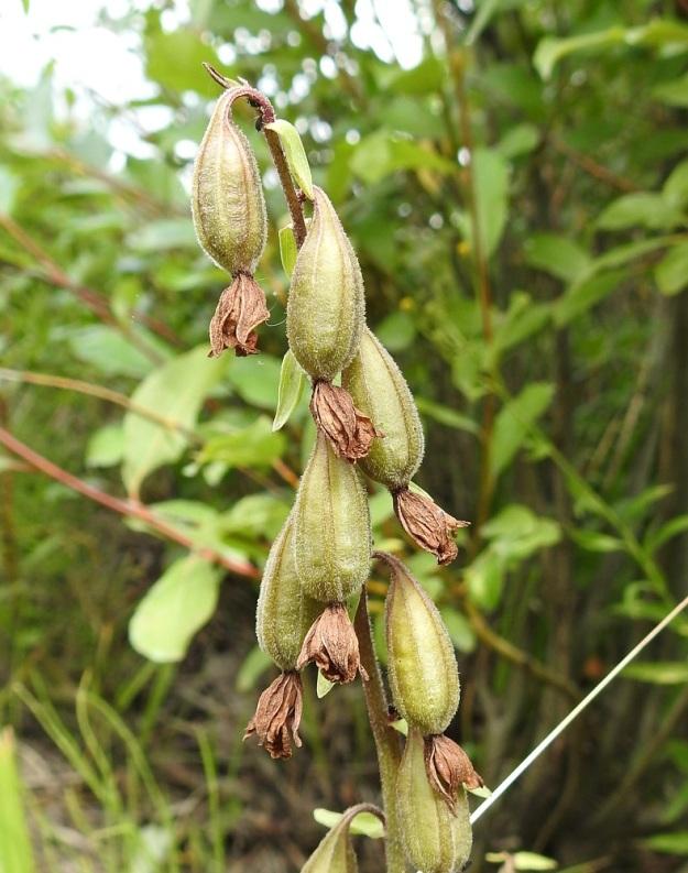 Epipactis palustris - suoneidonvaipan pölytystulos on usein lähes täydellinen ja varsi riippuu täynnä soikeita, vahvasuonisia ja noin 20 mm pitkiä kotahedelmiä. Ne aukeavat suonien vierestä ja pienenpienet siemenet leviävät tuulen ja virtaavan veden mukana. U, Inkoo, 4.8.2019. Copyright Hannu Kämäräinen.