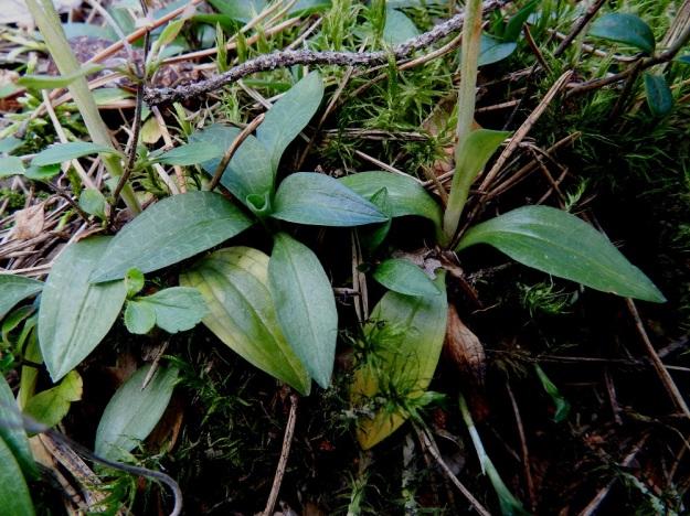 Goodyera repens - yövilkan, havuyövilkan lehtilapa on soikea, paksuhko ja noin 1-3,5 cm pitkä. Alemmissa lehdissä on varren ympärille kiertyvä ruoti. Lehden pääsuonitus on silposuoninen. Sen lisäksi lehden pinnalla näkyy marmoroinnin kaltainen verkkosuonisuus. EH, Hämeenlinna, Loimalahti, Kolkanmäki, omakotialueen eteläpuolinen metsä, 20.8.2011. Copyright Hannu Kämäräinen.