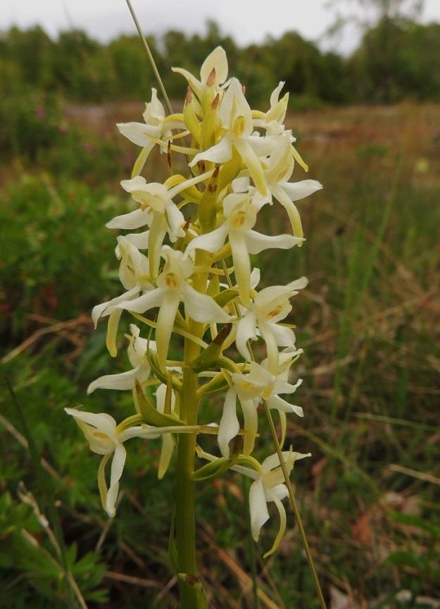 Platanthera bifolia subsp. latiflora - valkolehdokki subsp. pohjanvalkolehdokki on kukintotähkältään usein myös kellertävämpi Ahvenanmaan ketokasvupaikoilla. Se lienee kuitenkin esteettömän auringonpaahteen seurausta. A, Lemland, Herröskatan, luonnonsuojelualue, kallioketoalue, 13.6.2014. Copyright Hannu Kämäräinen.