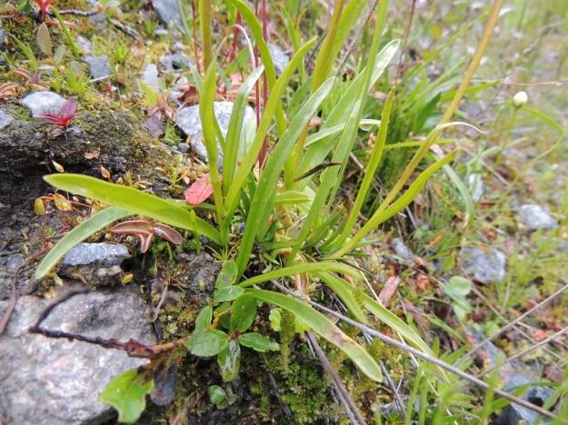 Gymnadenia conopsea subsp. alpina - punakirkiruoho subsp. lettokirkiruoho on kapealehtinen eikä sen lehdissä ole tummempia täpliä. Varren alaosassa lehtiä on 2-4 ja ne ovat noin 3-10 cm pitkiä ja vain 0,3-0,8 mm leveitä. Lisäksi ylempänä varrella on 2-3 pienempää lehteä. EnL, Enontekiö, Kilpisjärvi, retkeilykeskuksen ja leirintäalueen pohjoispuolisen tunturikoivikon alaraja, 19.7.2013. Copyright Hannu Kämäräinen.