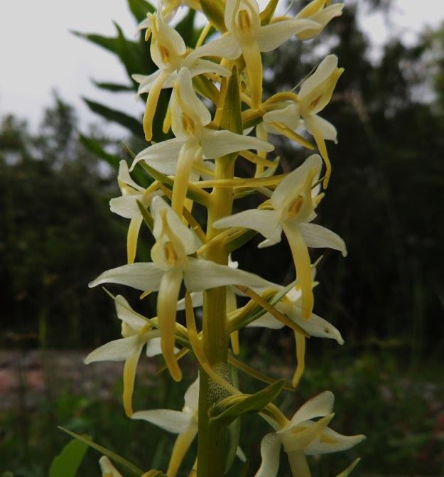 Platanthera bifolia subsp. latiflora - valkolehdokki subsp. pohjanvalkolehdokki on jo itsessään muunteleva taksoni. Sen kannuksen pituus vaihtelee suuresti (yleensä 25-40 mm). Etelänvalkolehdokilla, subsp. bifolia, kannus on 15-23 mm. Kuvan yksilöllä kannuksen pituus on noin 20 mm eli osuu eteläisen taksonin vaihteluväliin. Muuntelusta kertovat myös epätavallisen kookkaat kukkien tukilehdet, jotka ovat myös sikiäintä pitempiä. A, Lemland, Herröskatan, luonnonsuojelualue, kallioketoalue, 13.6.2014. Copyright Hannu Kämäräinen.