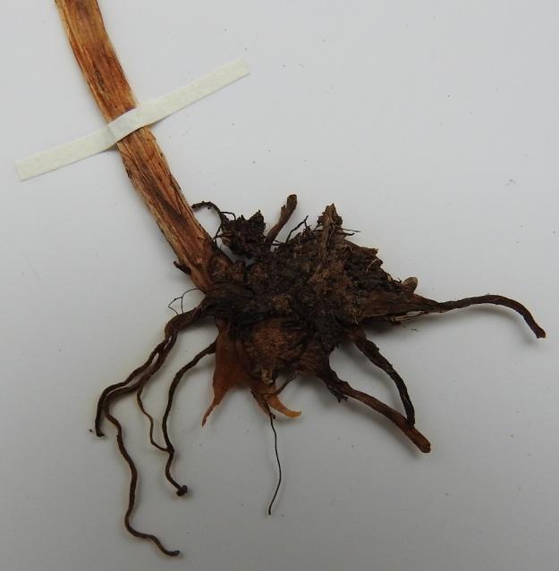 Coeloglossum viride (Dactylorhiza viridis) - pussikämmekkän juuristossa on liuskakämmeköiden, Dactylorhiza, tapaan kaksi liuskaista juurimukulaa, joista toinen on vanha ja tummempi ja toinen uudempi ja vaaleampi. EH, Vilppula, Kolho, Laksi ja Pyhtönen nimisten järvien välinen, metsäinen harjukannas, sähkölinja, 23.6.1998. Kuva näytteestä 13.9.2019. Copyright Hannu Kämäräinen.