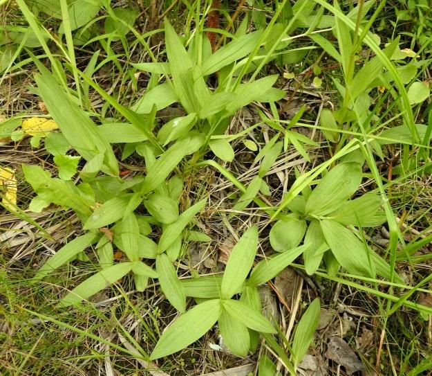 Epipactis palustris - suoneidonvaippa kasvattaa tulokasesiintymässään pusikoitumisesta huolimatta runsaasti uusia taimia. Ne eivät useinkaan ole siementaimia, vaan nousevat vaakatasossa laajalle leviävästä juuristosta ja ovat siten yhtä ja samaa yksilöä. U, Inkoo, 4.8.2019. Copyright Hannu Kämäräinen.