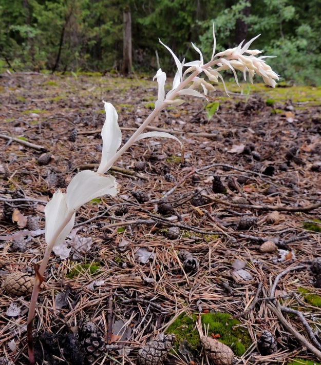 Epipactis helleborine subsp. helleborine - lehtoneidonvaippa subsp. metsäneidonvaippa kykenee elämään myös täysin sienijuurensa varassa niin, että sen versot ovat lehtivihreättömiä eivätkä näin ollen yhteytä ollenkaan. Ominaisuus säilyy koko elämänkierron ajan. Täydellisellä loisimisella on myös hintansa. Kuivina kesinä vähähumuksisilla kasvupaikoilla sienirihmastot kuivuvat ja loisijan ravinnonsaanti tyrehtyy. Tällöin kukintovarret kuihtuvat jo ennen kukintaa. Näin kävi myös kuvan neidonvaipalle. ES, Lappeenranta, Mäntylä, Mäntylänmäki, luonnonsuojelualue, 28.7.2015. Copyright Hannu Kämäräinen.