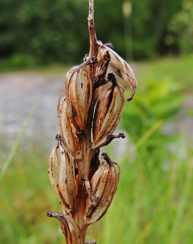 Platanthera bifolia subsp. latiflora - valkolehdokki subsp. pohjanvalkolehdokki saa tuoksunsa ja meden avulla kukkansa hyvin pölytettyä ja siemenkotia kehittyy runsaasti. Kota on noin 12-15 mm pitkä ja avautuu suonten vierestä, jolloin runsaat ja kevyet siemenet lähtevät lentoon kodan läpi puhaltavan tuulen matkassa. A, Lemland, Herröskatan, luonnonsuojelualue, kallioketoalue, 13.6.2014. Copyright Hannu Kämäräinen.