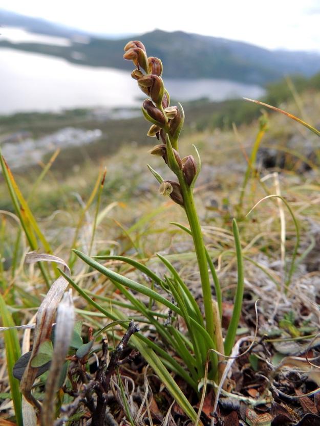 Chamorchis alpina - tunturiorhon ainoat suomalaiset, nykyiset kasvupaikat ovat Käsivarren ns. peukalossa Saanalla, jossa lajilla on puolisen tusinaa kasvustoa. Pienuutensa ja vaatimattomuutensa vuoksi sitä ei ole helppo havaita. Pituutta on vain noin 5-12 cm. EnL, Enontekiö, Kilpisjärvi, Saanan jyrkkä lounaisrinne, tunturipaljakkakangas, 625 m mpy, luonnonsuojelualue, 16.7.2013. Copyright Hannu Kämäräinen.