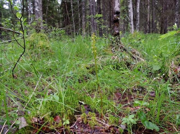 Corallorhiza trifida - harajuuri, taigaharajuuri suosii soistuvia, suhteellisen märkäpohjaisia metsiä ja korpia. Kuvan kasvupaikalla sillä näkyy oikeassa alakulmassa seuralaisena herttakaksikko, Neottia cordata. Kn, Puolanka, Väyrylä, Pahajärven eteläpuolella oleva luonnonsuojelualue, puronvarsikosteikko, 12.7.2015. Copyright Hannu Kämäräinen.