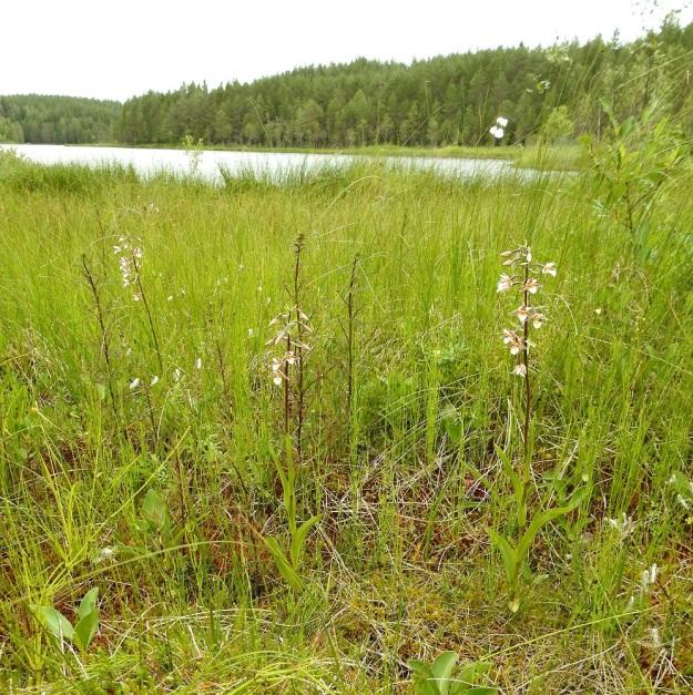 Epipactis palustris - suoneidonvaipalla on Suomessa reilut 30 esiintymää. Niistä vain kymmenkunta on Manner-Suomessa ja muut Ahvenanmaalla. Luontaisia kasvupaikkoja ovat letot sekä letto- ja rantaniityt. Kuvassa lettolaikulla seuralaisina mm. raate, Menyanthes trifoliata, luhtakuusio, Pedicularis palustris ja lettovilla, Eriophorum latifolium. PS, Joroinen, 12.7.2019. Copyright Hannu Kämäräinen.