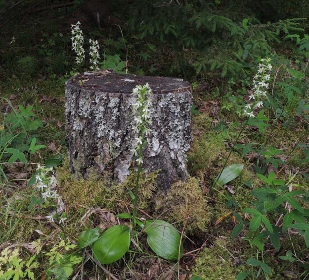 Platanthera bifolia subsp. latiflora - valkolehdokki subsp. pohjanvalkolehdokki on kasvupaikoiltaan aika laaja-alainen. Sen voi tavata niin kangasmetsistä, lehdoista, lettokorvista kuin niityiltä ja kedoiltakin. Kuvassa näkyy aluslehtien muuntelua. Oikealla näkyy yleisin soikea tai vähän vastapuikea lehtimalli. Toisinaan lehdet voivat etualan yksilön tavoin olla myös leveänsoikeat keltalehdokin, P. chlorantha, tavoin. EH, Hämeenlinna, Aulanko, Aulangonjärven lounaispuolinen lehtometsä, 26.6.2016. Copyright Hannu Kämäräinen.
