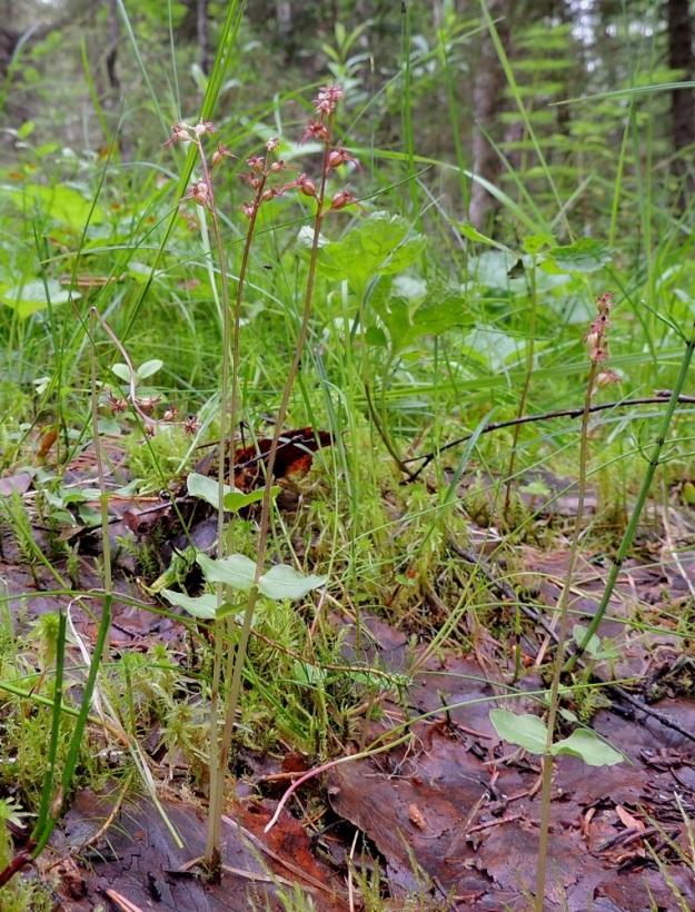Neottia cordata (Listera cordata) - herttakaksikko on hento, 10-25 cm korkea kämmekkä, jolla nimensä mukaisesti on noin varren puolivälissä tai vähän sen alapuolella herttamainen lehtipari. Herttakaksikon juuristo leviää hitaasti rönsyten sammalikossa ja karikkeessa muodostaen jälkisilmuja, joista versoo uusia, samaan yksilöön kuuluvia kasveja. Kn, Puolanka, Väyrylä, Pahajärven eteläpuolella oleva luonnonsuojelualue, puronvarsikosteikko, 12.7.2015. Copyright Hannu Kämäräinen.