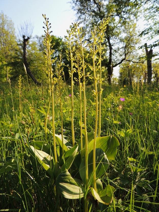 Neottia ovata (Listera ovata) - soikkokaksikko kasvaa hyvillä kasvupaikoilla yleensä tiheinä varsiryhminä. Lajilla on laajeneva juurakko ja lähekkäiset varret ovat suurella todennäköisyydellä samaa yksilöä. A, Jomala, Ramsholmen, luonnonsuojelualue, lupikkaniitty, 7.6.2014. Copyright Hannu Kämäräinen.