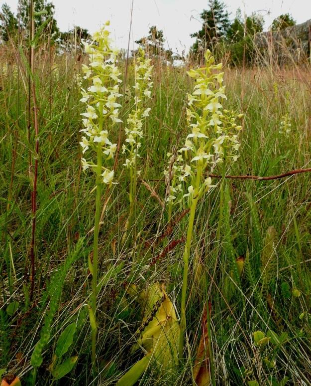 Platanthera chlorantha - keltalehdokin kukintotähkä on harvahko - tiheähkö ja tasapaksu sekä noin 10-25 cm pitkä. A, Sund, Bomarsund, Prästö, Barsneudden, Prästötornetin rauniokummun niittyalue, 13.7.2017. Copyright Hannu Kämäräinen.