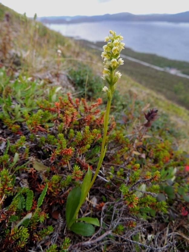 Pseudorchis straminea (P. albida subsp. straminea) - tunturivalkokämmekkä on noin 10-25 cm korkea. Sen varsi ja lehdet ovat vihreitä tai vihreänkellertäviä. Lehtiä on yleensä 3-6 ja ne painottuvat varren alaosaan. Ylempänä on tavallisesti pari muita selvästi pienempää ja kapeampaa lehteä. EnL, Enontekiö, Kilpisjärvi, Saanan jyrkkä lounaisrinne, tunturikoivikon yläpuolinen paljakkakangas retkeilykeskuksen ja leirintäalueen kohdalla, luonnonsuojelualue, 625 m mpy, 16.7.2013. Copyright Hannu Kämäräinen.