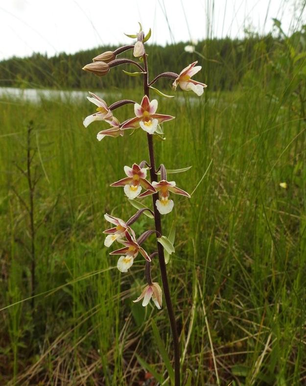 Epipactis palustris - suoneidonvaipan kukintoterttu on harsu, toispuoleinen ja noin 5-15 cm pitkä. Siinä on kukkia tavallisesti 5-20. Ainakin varren yläosa on tavallisesti ruskeanvioletti. PS, Joroinen, 12.7.2019. Copyright Hannu Kämäräinen.