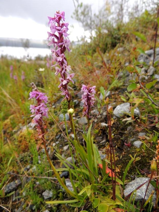 Gymnadenia conopsea subsp. alpina - punakirkiruoho subsp. lettokirkiruoho on noin 15-30 cm korkea ja sen kukintotähkä on kapeahko, noin 3-7 cm pitkä, 15-25-kukkainen sekä tavallisesti harsuhko. Kuvassa seuralaisina juurella pohjankarhunruoho, Tofieldia pusilla, suovilukko, Parnassia palustris ja siniyökönlehti, Pinguicula vulgaris. EnL, Enontekiö, Kilpisjärvi, retkeilykeskuksen ja leirintäalueen pohjoispuolisen tunturikoivikon alaraja, 19.7.2013. Copyright Hannu Kämäräinen.