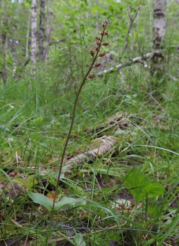 Neottia cordata (Listera cordata) - herttakaksikko suosii soistuvia kuusikkoja ja korpien reunuksia. Sen voi tavata myös lehdoista, puronvarsilta, tunturikoivikoista ja joskus jopa mäntykankailta. Kn, Puolanka, Väyrylä, Pahajärven eteläpuolella oleva luonnonsuojelualue, puronvarsikosteikko, 12.7.2015. Copyright Hannu Kämäräinen.