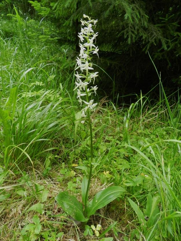 Platanthera bifolia subsp. latiflora - valkolehdokki subsp. pohjanvalkolehdokki on näyttävä laji. Sen pituus on 25-50 cm. Vuosikymmeniä sitten sitä poimittiin suuria määriä myyntiin. Taantumisen vuoksi lehdokki rauhoitettiin ensin kaupalliselta keräilyltä 1952 ja kokonaan Manner-Suomessa 1997. Alaosan lehtiparin lisäksi kukkavarressa on 1-3 yleensä pientä ja kapeaa lehteä. Toisinaan alin niistä kuvan yksilön tapaan kasvaakin isommaksi aivan kuin tyviosan lehtien vaikutuksesta. EH, Hämeenlinna, Hangasmäki, Hangaskallion etelälaita Tervasaarentien varressa, 5.7.2012. Copyright Hannu Kämäräinen.