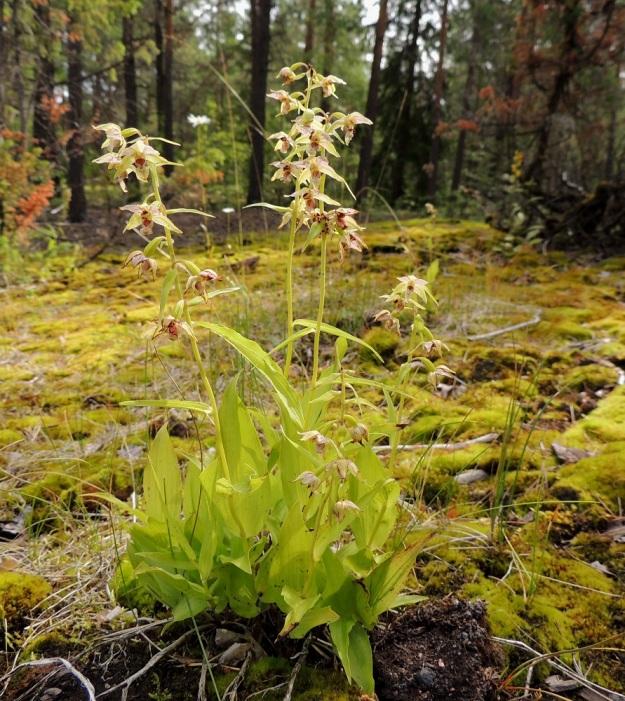 Epipactis helleborine subsp. helleborine - lehtoneidonvaippa subsp. metsäneidonvaippa on parhaina vuosinaan kasvanut kalkkilouhoksen lähistöllä jopa tuhansin versoin. Viime vuosina, 2010-luvulla, määrät eivät ole enää nousseet sellaisiin lukemiin. ES, Lappeenranta, Mäntylä, Mäntylänmäki, luonnonsuojelualue, 28.7.2015. Copyright Hannu Kämäräinen.