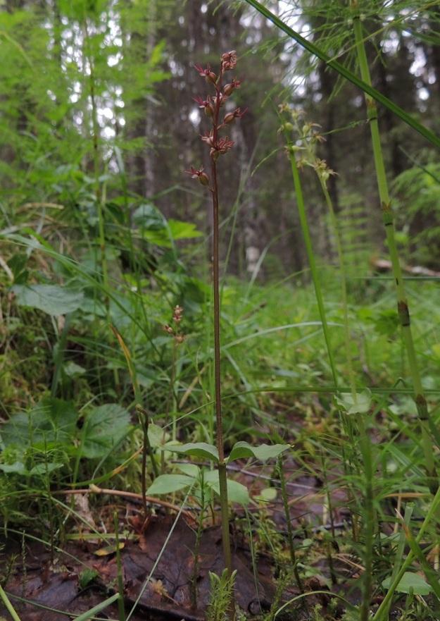 Neottia cordata (Listera cordata) - herttakaksikon kukinnoissa on kaksi päävärityyppiä, jotka voivat kasvaa samallakin kasvupaikalla, kuten kuvassa. Kukinto on pääväriltään ruskehtavan punertava tai vihertävä. Myös varsien yläosan väritys noudattaa samaa linjaa. Kn, Puolanka, Väyrylä, Pahajärven eteläpuolella oleva luonnonsuojelualue, puronvarsikosteikko, 12.7.2015. Copyright Hannu Kämäräinen.