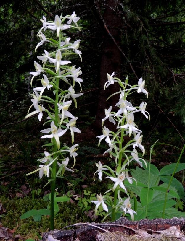 Platanthera bifolia subsp. latiflora - valkolehdokki subsp. pohjanvalkolehdokki houkuttelee yöperhosia öiseen aikaan voimakkaasti tuoksuvien kukkiensa lisäksi myös niiden hämärässäkin hohtavan valkoisuuden avulla. Kukintotähkät ovat yleensä 10-20 cm pitkiä ja tavallisesti 10-25-kukkaisia. EH, Hämeenlinna, Aulanko, Aulangonjärven lounaispuolinen lehtometsä, 26.6.2016. Copyright Hannu Kämäräinen.