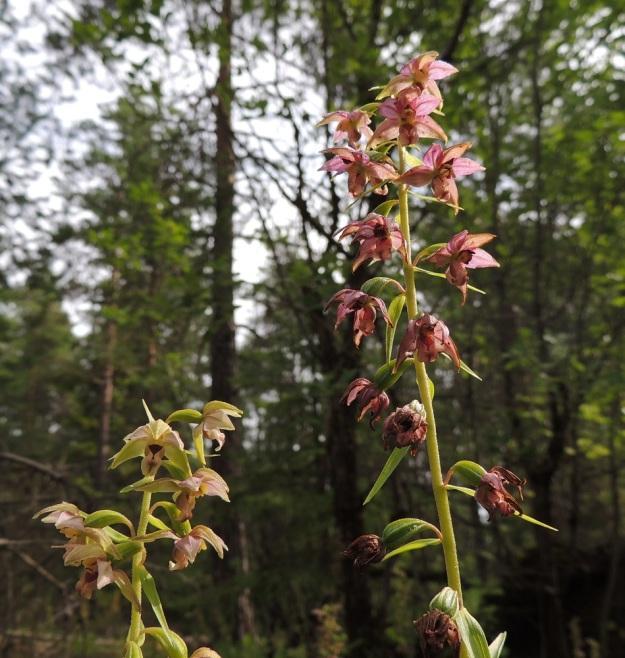 Epipactis helleborine subsp. helleborine - lehtoneidonvaippa subsp. metsäneidonvaippa on hyvin muunteleva kukkien värin suhteen - jopa samalla kasvupaikalla. ES, Lappeenranta, Mäntylä, Mäntylänmäki, luonnonsuojelualue, 28.7.2015. Copyright Hannu Kämäräinen.